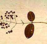 Oudste Surinaamse plantencollectie één dag in museum te zien