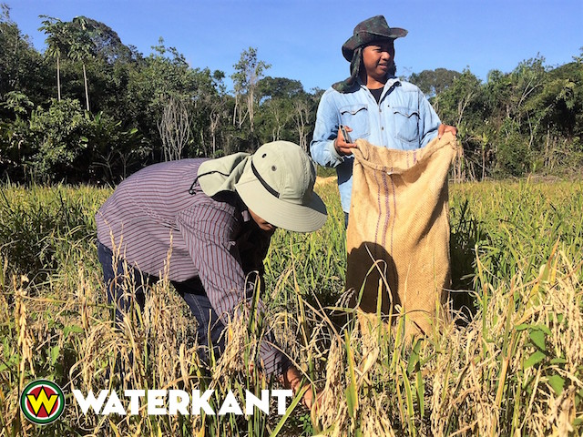 Verbouwen drooglandrijst in Suriname gestimuleerd