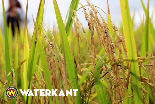Twintig ton rijst van Suriname naar Venezuela