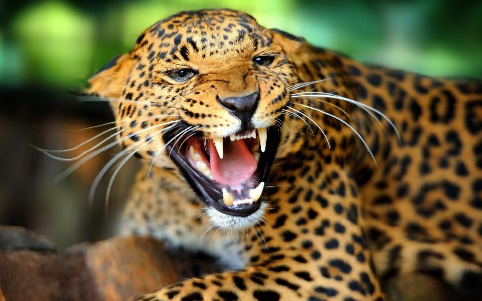 honger naar vlees, tanden en huid surinaamse jaguar - waterkant