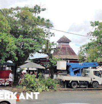 Besnoeiing amandelbomen langs de Waterkant in Suriname
