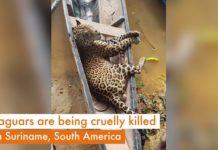 'Chinezen in Suriname doden jaguars voor illegale handel'