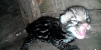 Baby ocelot geboren in dierentuin Suriname
