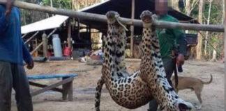 Trouw: 'Chinezen halen jaguars uit Suriname'