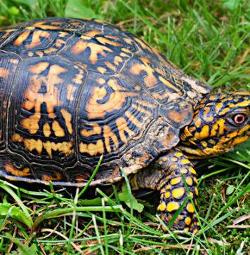 Man met 13 landschildpadden op vliegveld Suriname aangehouden