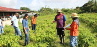 LVV steunt boeren in Suriname bij terugdringen 'vruchtrot' in peper