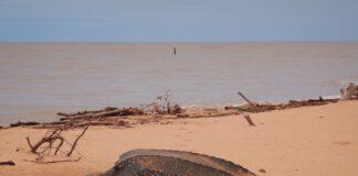 Drastische daling van nesten zeeschildpadden in Suriname