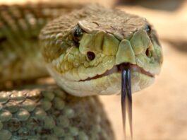 Nieuwe app over behandeling van slangenbeten in Suriname