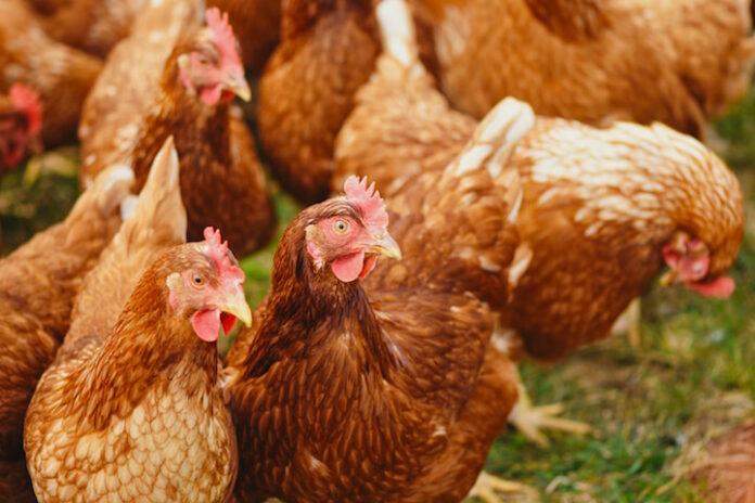 Suriname alert na uitbraak pluimveeziekte in Guyana