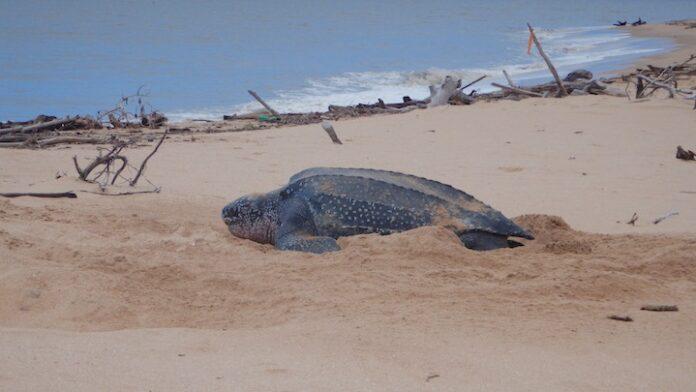 Vrijwilligers vieren Wereld Schildpaddendag in Suriname