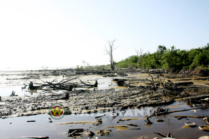 Professor plant jonge mangroveboompjes om kust van Suriname te redden