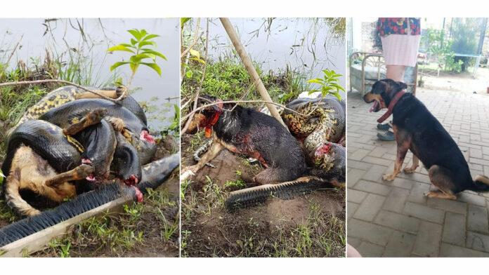 Bizar: Hond overleeft aanval van grote anaconda in Suriname