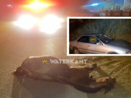 VIDEO: auto rijdt tegen paard aan in Suriname