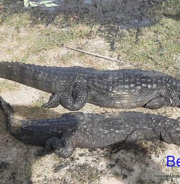 Krokodillen in kapotte duikers aangetroffen tijdens schoonmaak