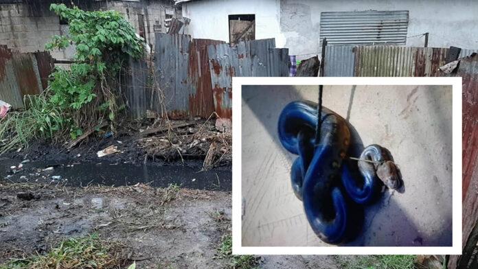 Boa constrictors aangetroffen bij schoonmaakwerkzaamheden