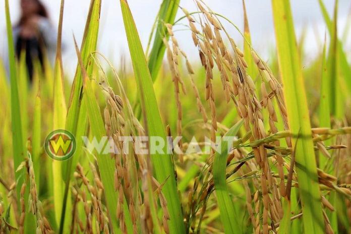 Cuba heeft interesse in rijst uit Suriname