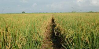 inzaai-rijst-suriname