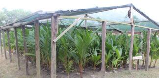 Europese Unie stelt geld beschikbaar voor kokosteelt in Suriname
