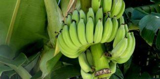 Belgisch bedrijf weg uit Suriname vanwege politieke, financiële en economische toestand