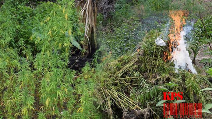 Politie vindt en vernietigt 150 marihuana planten te Atjoni