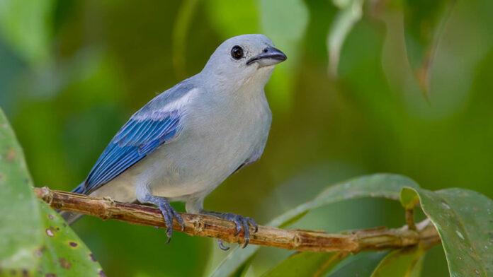 Vrouw probeerde vogels uit Suriname te smokkelen naar Nederland