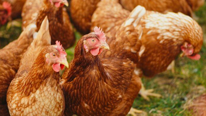 Man schiet met jachtgeweer op kippendief in Suriname