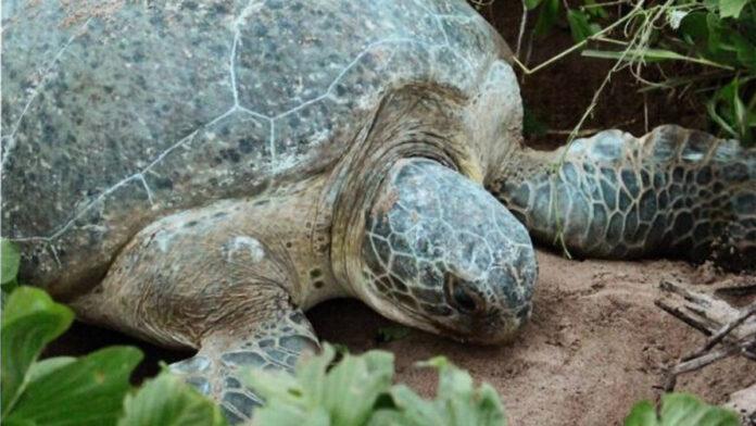 Overeenkomst ter bescherming zeeschildpadden in Suriname