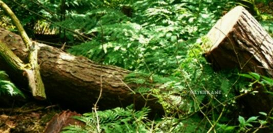 omgevallen boom suriname