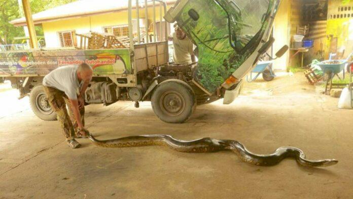 Paramaribo Zoo heeft nieuwe anaconda van bijkans 4 meter