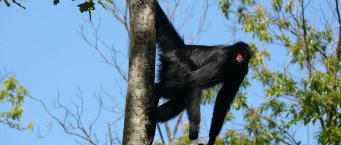 Inzamelingsactie om zwarte slingerapen in Suriname te helpen