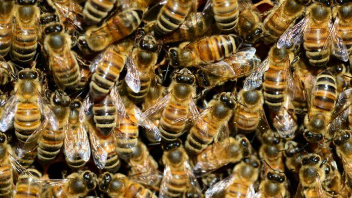 braziliaanse-bijen-suriname
