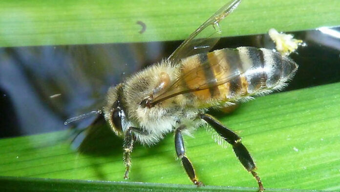 Man dood na aanval door Braziliaanse bijen in Suriname