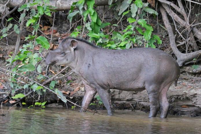 Jager krijgt fikse boete na doodschieten tapir