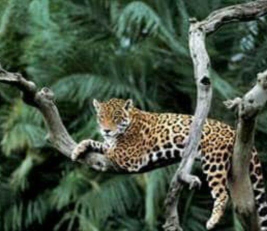 WWF-Guianas begint met partners project voor betere jaguarbescherming