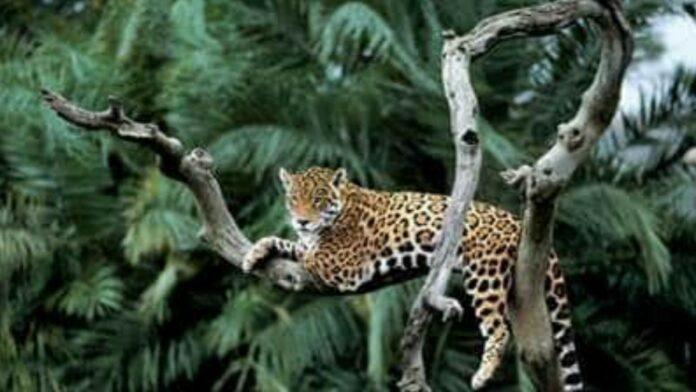 Jaguar - foto: WWF-Guianas
