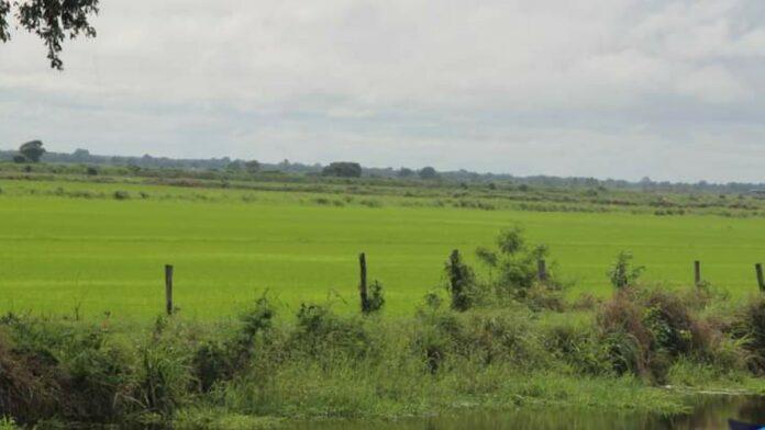 Vee stalweide Europolder-Noord zorgt voor overlast omliggende rijstarealen