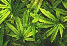Suriname haalt eerste CBD oogsten binnen en zet deur op kier voor medicinale cannabis