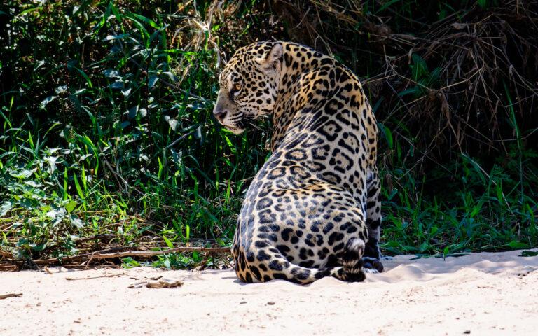 WWF roept regeringen op om Jaguar Roadmap 2030 uit te voeren
