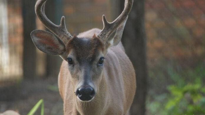 Hertje in dierentuin Suriname door criminelen geslacht om zijn vlees