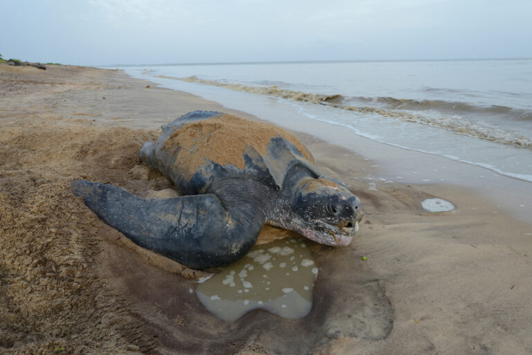 Drijfhout beschermt nesten zeeschildpadden