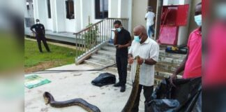 Medewerker Wanica Ziekenhuis kapt anaconda die kalf wurgt dood
