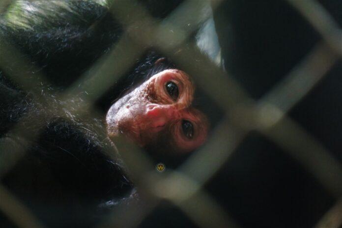 1-jarig jongetje aangevallen door agressieve kwatta aap