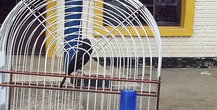 53-jarige bekende van de politie steelt zangvogel