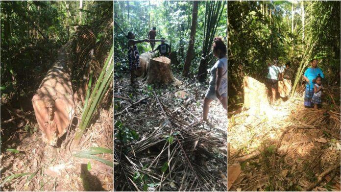 Pikin Poika geconfronteerd met illegale houtkap