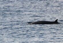 Voor het eerst spitssnuitdolfijnen voor Surinaamse kust gefotografeerd