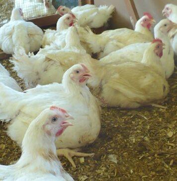 Pertjajah Luhur opent zaterdag haar volks-kippenwinkel