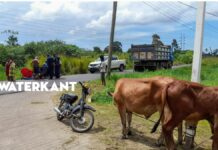 Bromfietser gewond na botsing tegen touw overstekende koeien