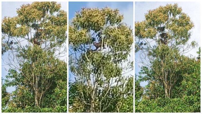 Jaguars waargenomen een boom te Kwatta