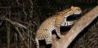 Gespotte katachtigen Kwatta geen jaguars maar tigrikati